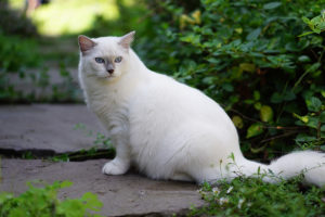 Lilac Point Mitted