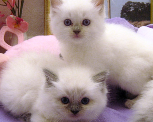 Color Point Kittens